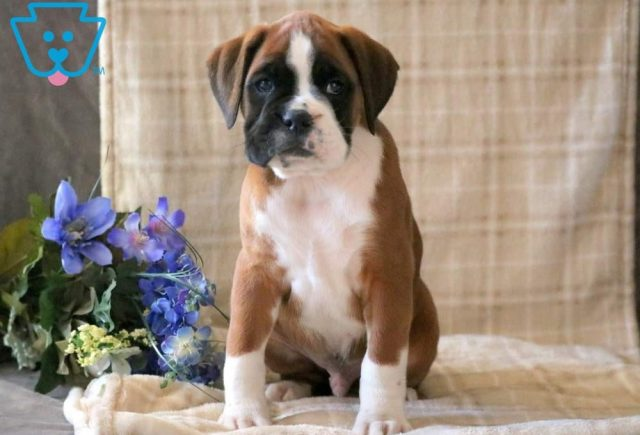 Cletus-Boxer-Dog-Breed-Working-AKC