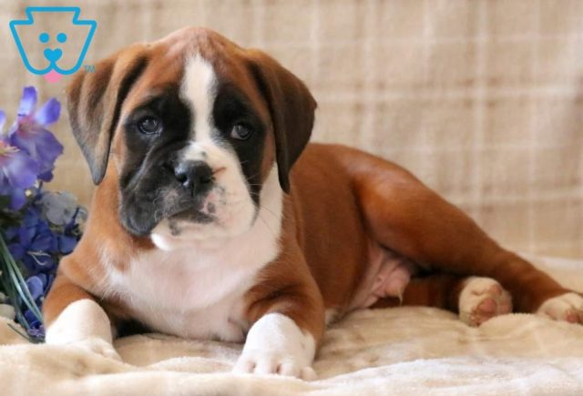 Cletus2-Boxer-Dog-Breed-Working-AKC