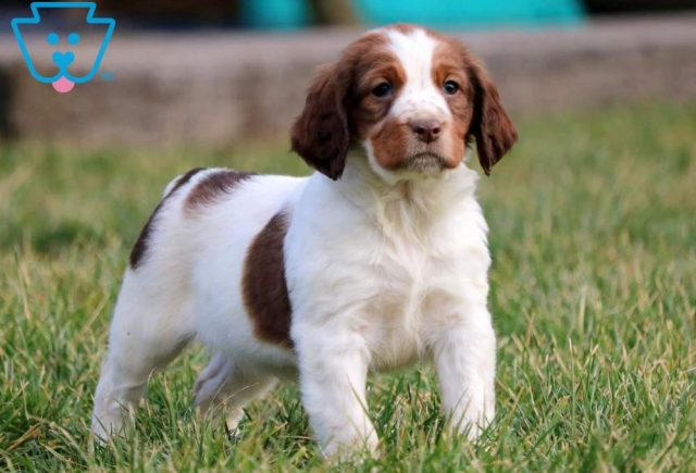 Clyde-English-Springer-Spaniel-Sporting-Dog-Breed-AKC