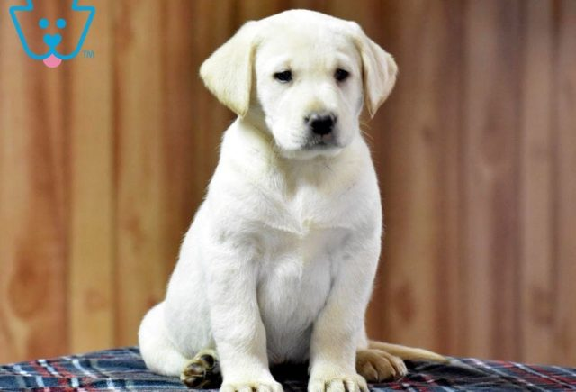 Cookie Labrador Retriever Yellow Puppy For Sale Keystone Puppies