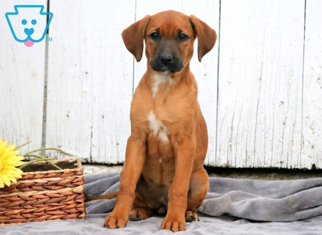 Redbone Hound Puppies For