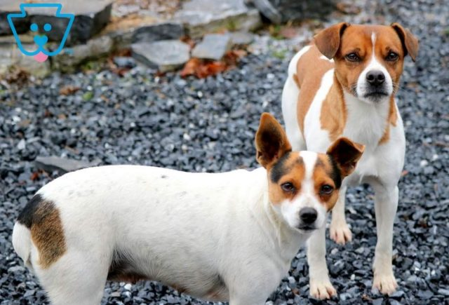 Jack Russell Parent Pic
