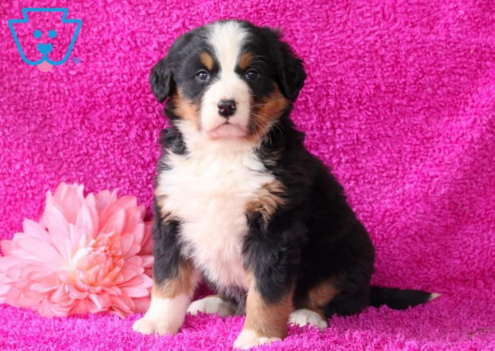Layla Bernese Mountain Dog Puppy For Sale Keystone Puppies