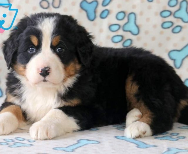 Bernese Mountain Dog Puppies For Sale Puppy Adoption Keystone