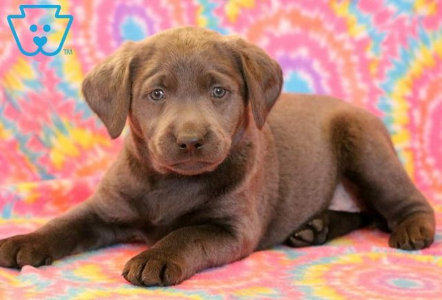 Love-Labrador-Retriever-Sporting-Dog-Breed-AKC-Charcoal
