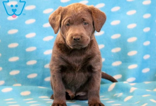 Luther-Labrador-Retriever-Sporting-Dog-Breed-AKC-Charcoal