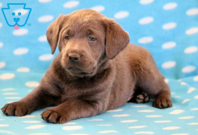 Luther2-Labrador-Retriever-Sporting-Dog-Breed-AKC-Charcoal