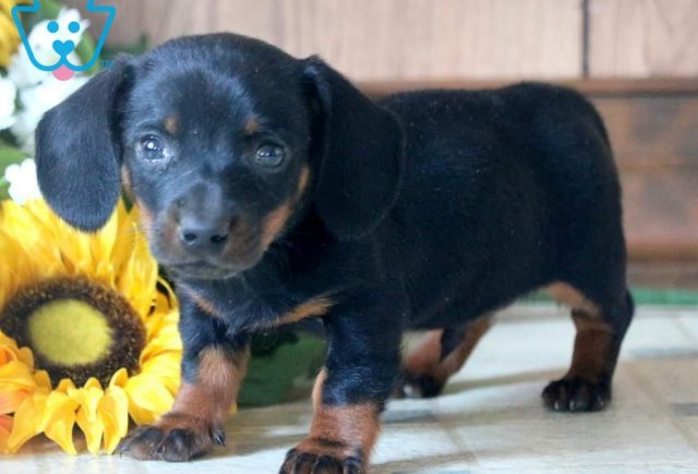 Magic-Miniature-Dachshund-Hound-Dog-Breed-AKC