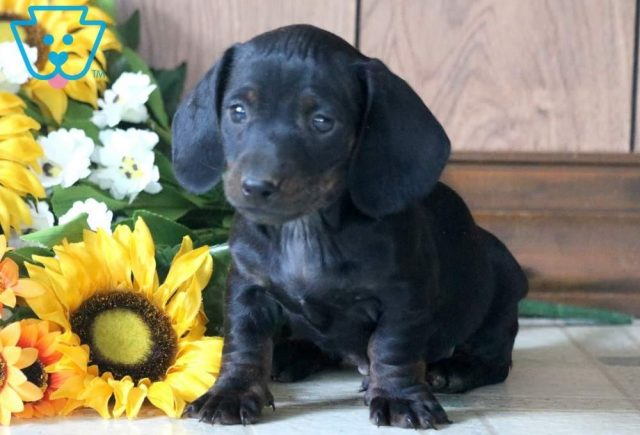 Marky-Miniature-Dachshund-Hound-Dog-Breed-AKC