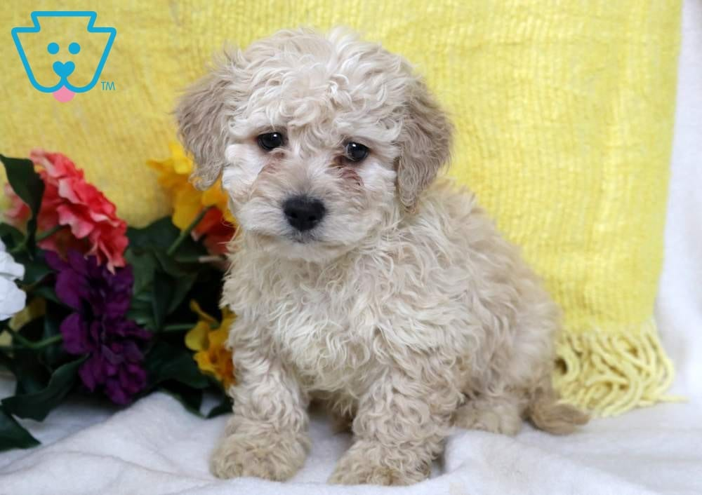 Mighty Poodle Mix Puppy For Sale Keystone Puppies