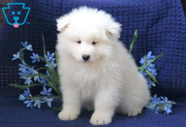 Parker-Samoyed-Working-Dog-Breed-AKC