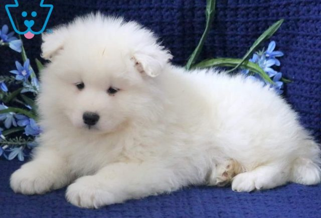 Parker2-Samoyed-Working-Dog-Breed-AKC