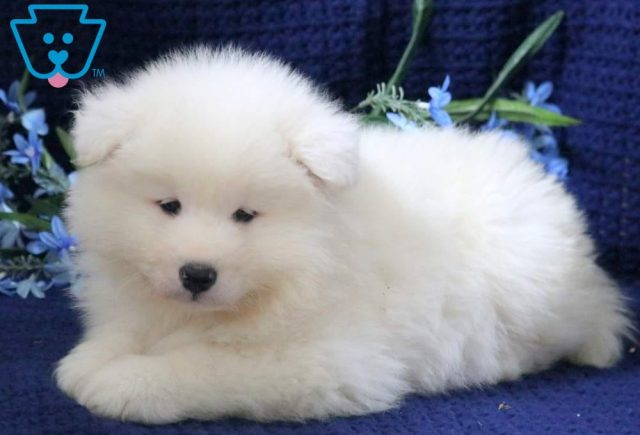 Pluto-Samoyed-Working-Dog-Breed-AKC