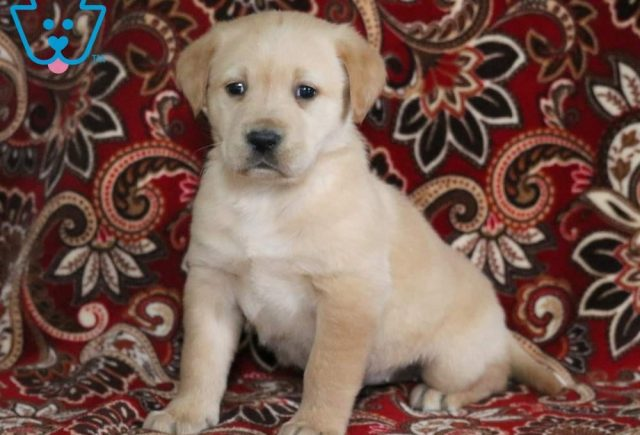 Pretty-Golden-Labrador-Designer-Breed-Dog-Retriever-Labrador-ACHC-IDCR-ICA