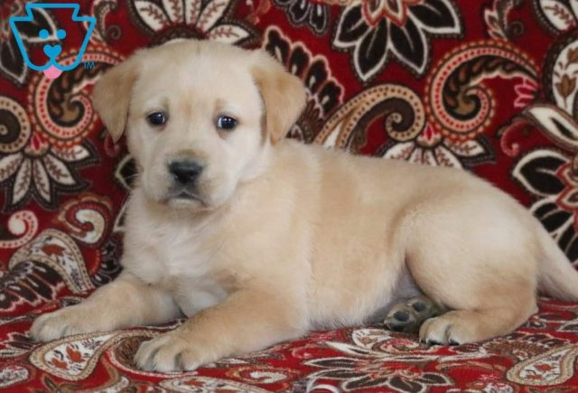 Pretty2-Golden-Labrador-Designer-Breed-Dog-Retriever-Labrador-ACHC-IDCR-ICA