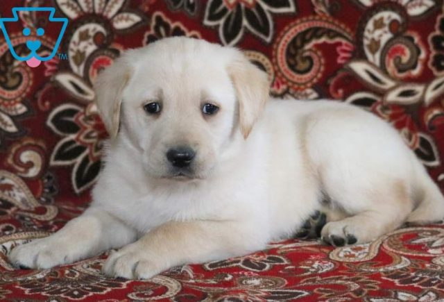 Princess-Golden-Labrador-Designer-Breed-Dog-Retriever-Labrador-ACHC-IDCR-ICA