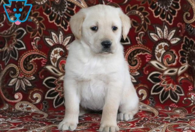 Princess2-Golden-Labrador-Designer-Breed-Dog-Retriever-Labrador-ACHC-IDCR-ICA
