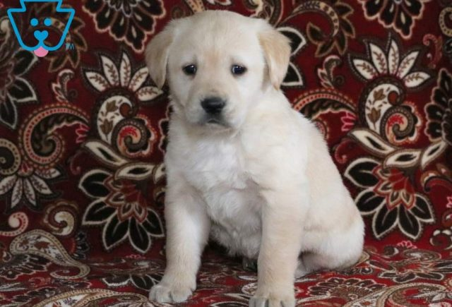 Priscilla-Golden-Labrador-Designer-Breed-Dog-Retriever-Labrador-ACHC-IDCR-ICA