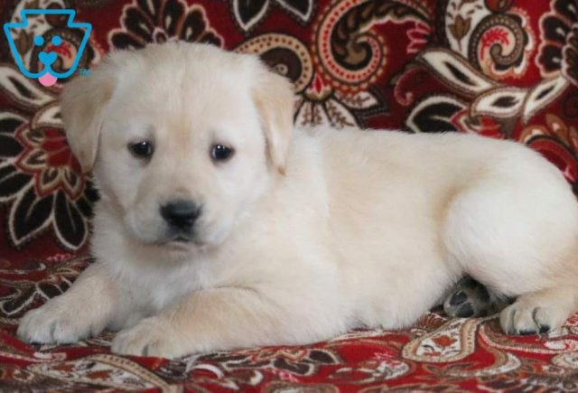 Priscilla2-Golden-Labrador-Designer-Breed-Dog-Retriever-Labrador-ACHC-IDCR-ICA