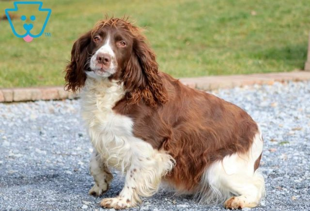 Chip | English Springer Spaniel Puppy For Sale | Keystone