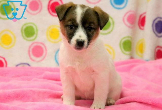 Sabrina Jack Russell Terrier Puppy For Sale Keystone Puppies
