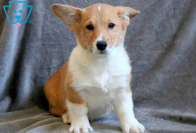 Sage Welsh Corgi 1