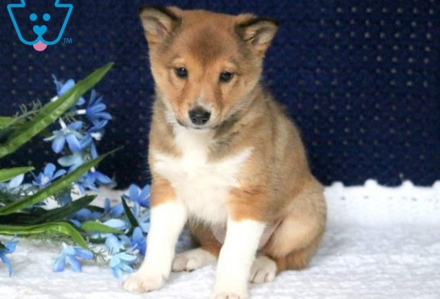 Scoops2-Shetland-Sheepdog-Mixed-Breed-Dog
