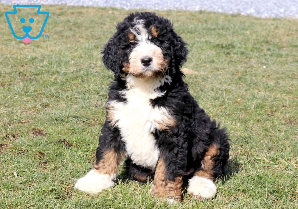 Sebastian Bernedoodle Puppy For Sale Keystone Puppies