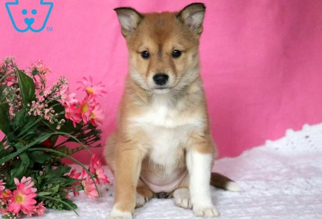 Secret-Shetland-Sheepdog-Mixed-Breed-Dog
