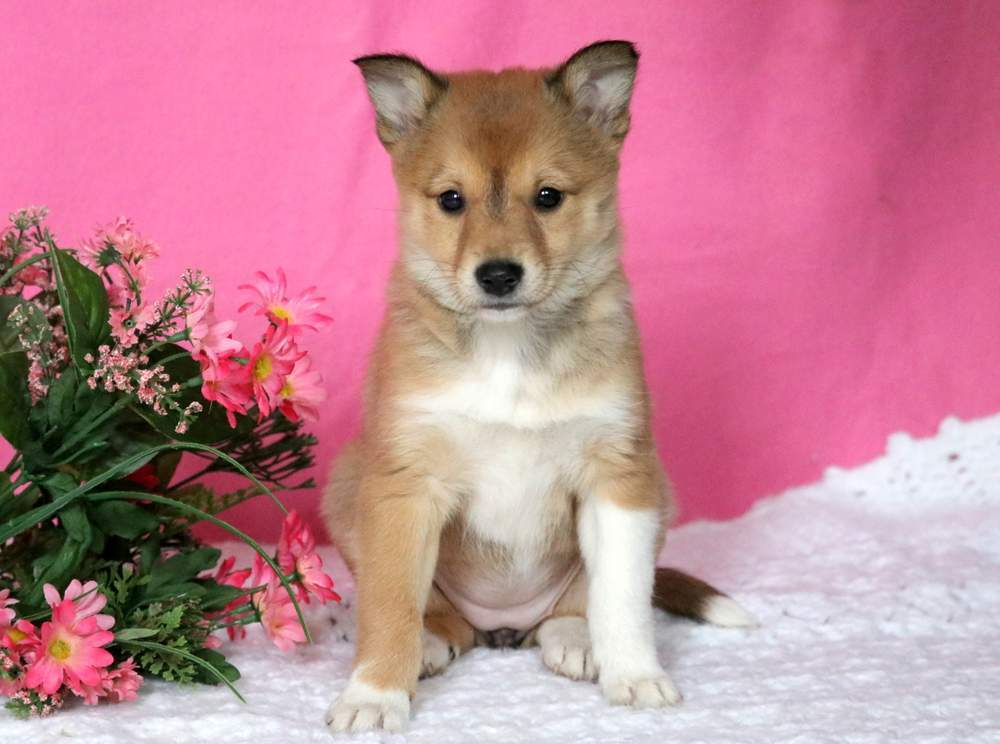 Shetland Sheepdog Mix Puppies For