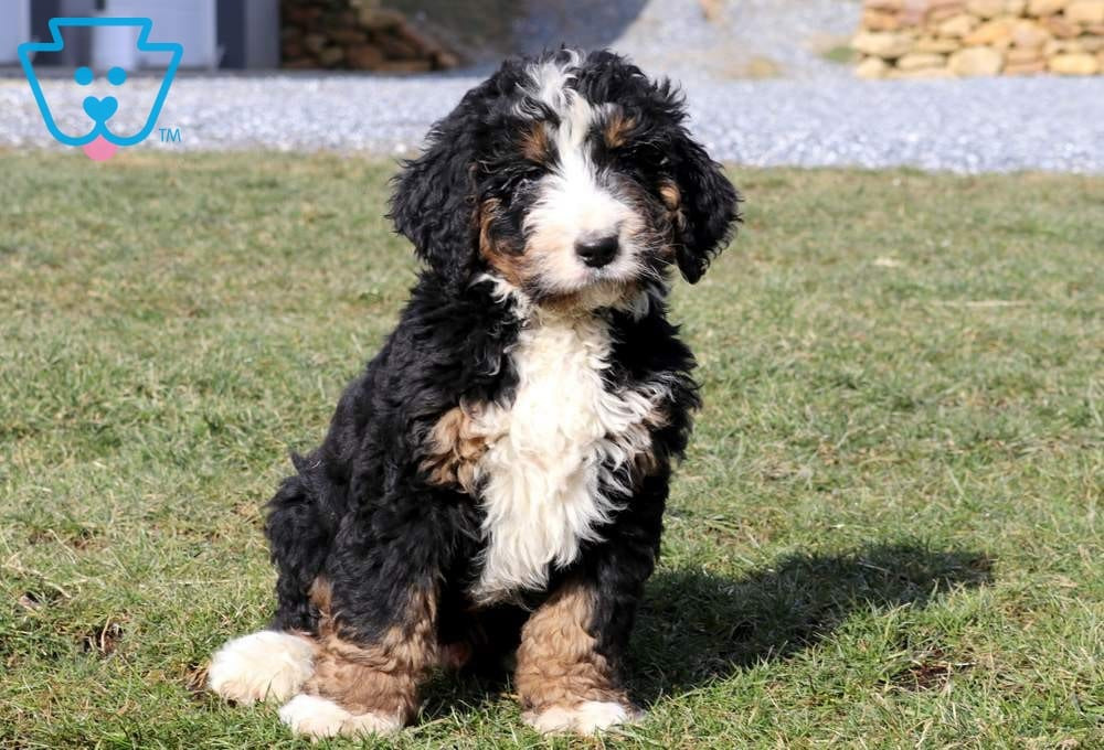 Sonny Bernedoodle Puppy For Sale Keystone Puppies