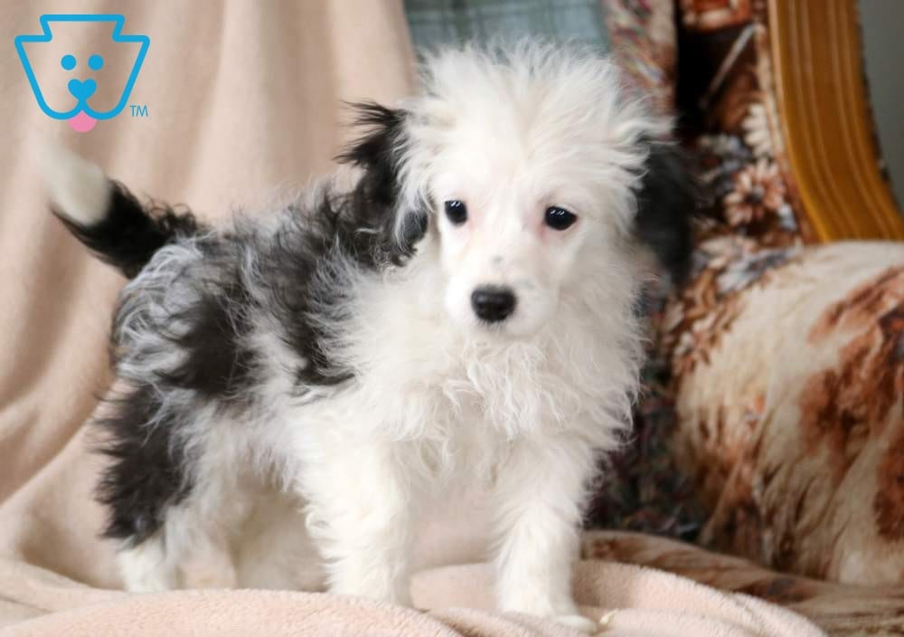 Sparkles | Sheepadoodle - Mini Puppy For Sale | Keystone Puppies
