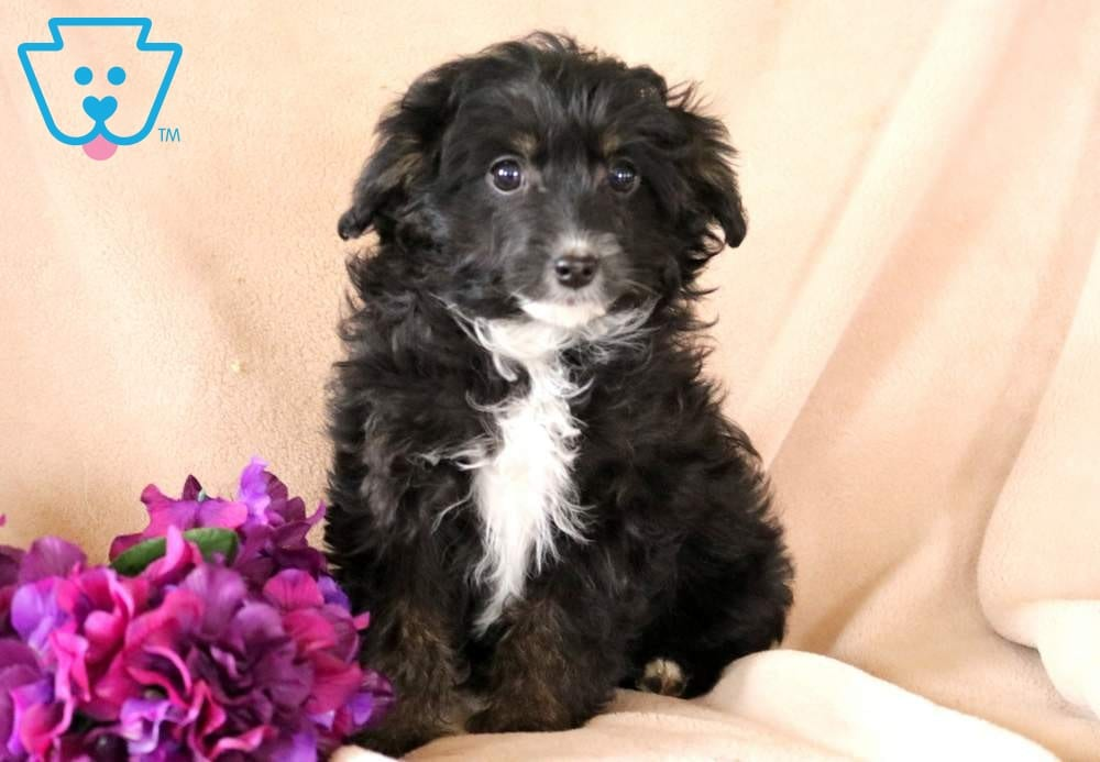 Special | Sheepadoodle - Mini Puppy For Sale | Keystone Puppies