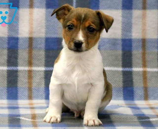 Sport Jack Russell Terrier Puppy For Sale Keystone Puppies