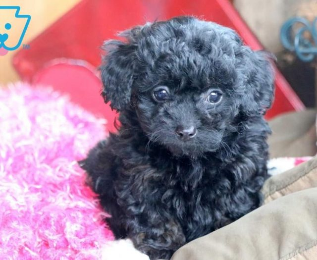 Stella Poodle Toy Puppy For Sale Keystone Puppies