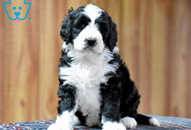 Tandy-Bernedoodle-Designer-Breed-Bernese-Mountain-Dog-Poodle-ACHC-IDCR-ICA