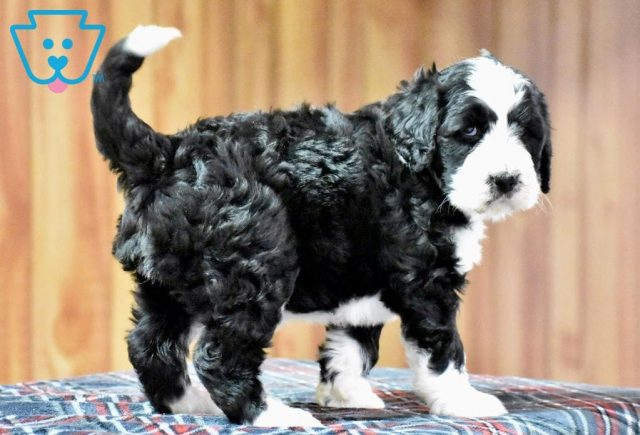 Tandy2-Bernedoodle-Designer-Breed-Bernese-Mountain-Dog-Poodle-ACHC-IDCR-ICA