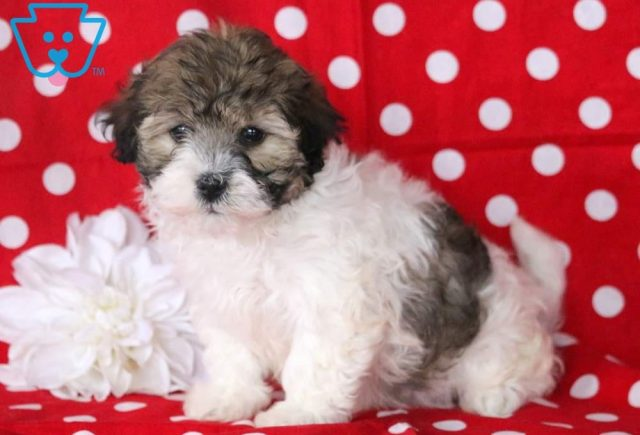 Tina-Havanese-Toy-Breed-Dog-AKC