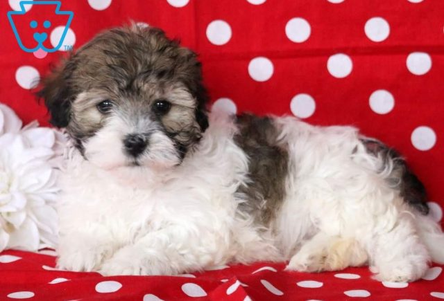 Tina2-Havanese-Toy-Breed-Dog-AKC