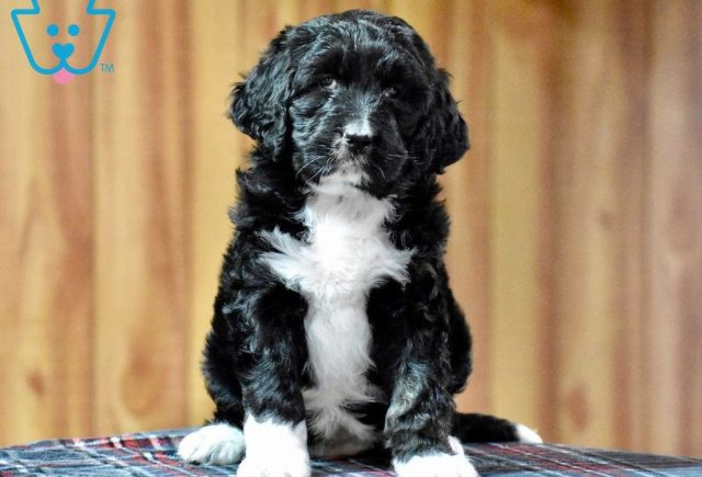 Tinkerbell-Bernedoodle-Designer-Breed-Bernese-Mountain-Dog-Poodle-ACHC-IDCR-ICA