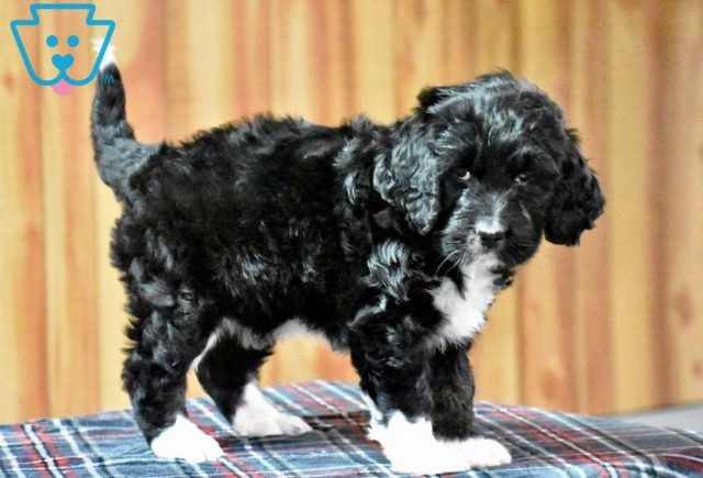 Tinkerbell2-Bernedoodle-Designer-Breed-Bernese-Mountain-Dog-Poodle-ACHC-IDCR-ICA