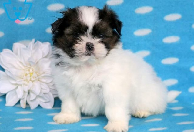 Zachary-Shih-Tzu-Toy-Dog-Breed-AKC