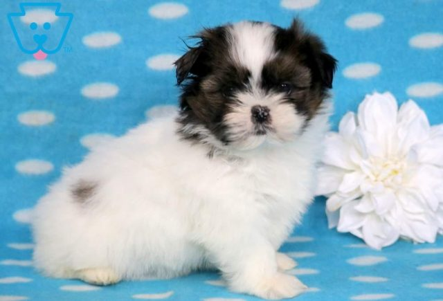 Zachary2-Shih-Tzu-Toy-Dog-Breed-AKC