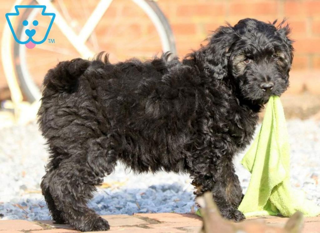 Black Goldendoodle puppy for sale for families