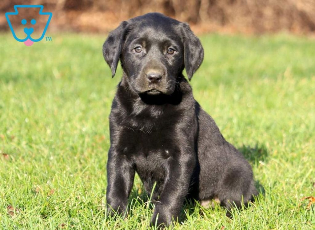 Labrador Retriever puppy for sale in PA