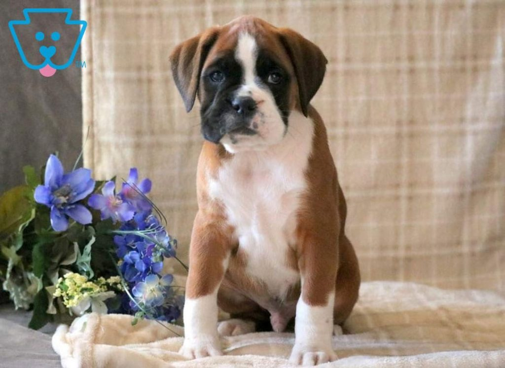 Boxer puppy for sale in PA