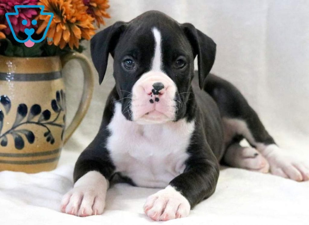 Black and white Boxer puppy for sale