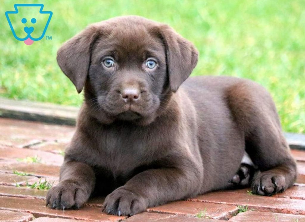 Labrador Retriever puppy with blue eyes for sale