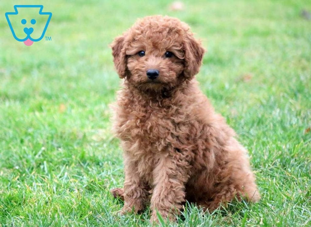 Fluffy golden Cockapoo puppy for sale