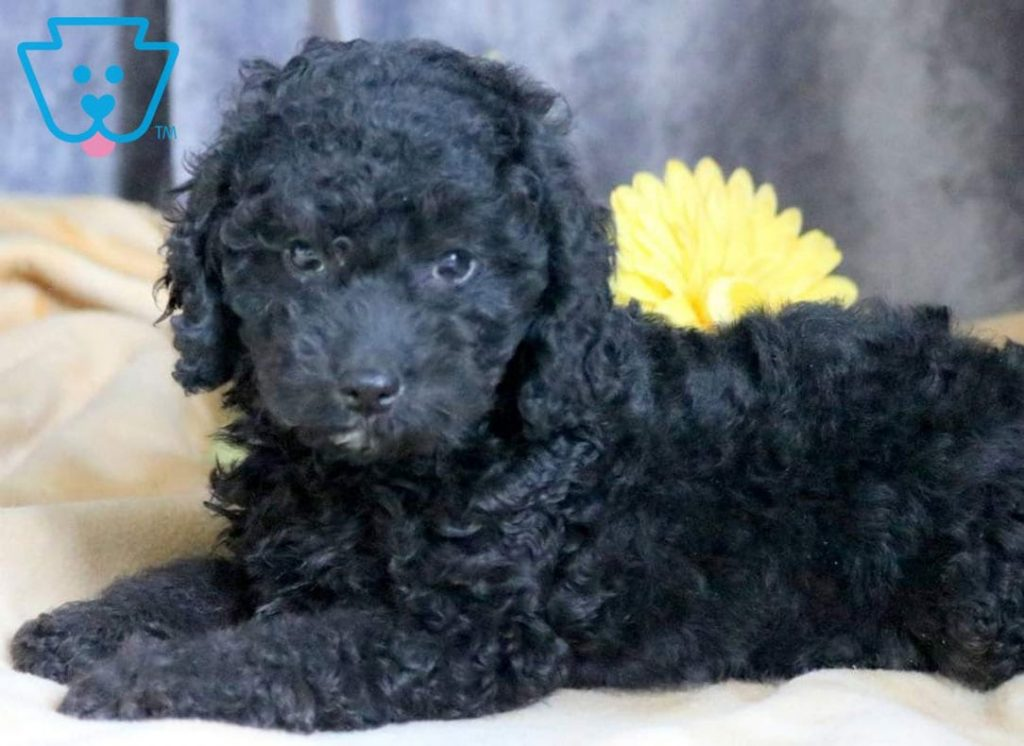 Black Cockapoo puppy for sale in PA